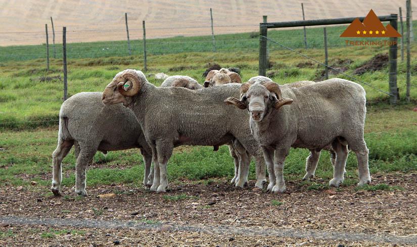 calcetines-trekking-oveja-lana-merino